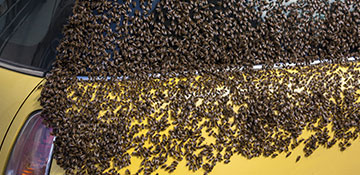 Imperial County Bee Removal