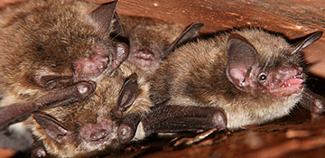 Macomb County Bird & Bat Control