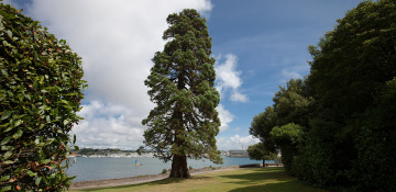 Alameda County Cedar Tree Removal