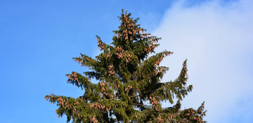 Spruce Tree Removal King County, WA