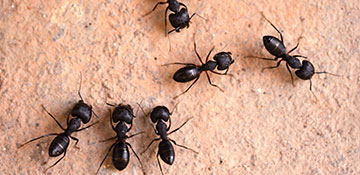 Franklin County Ant Control